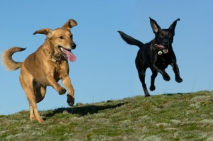 Dogs running happy